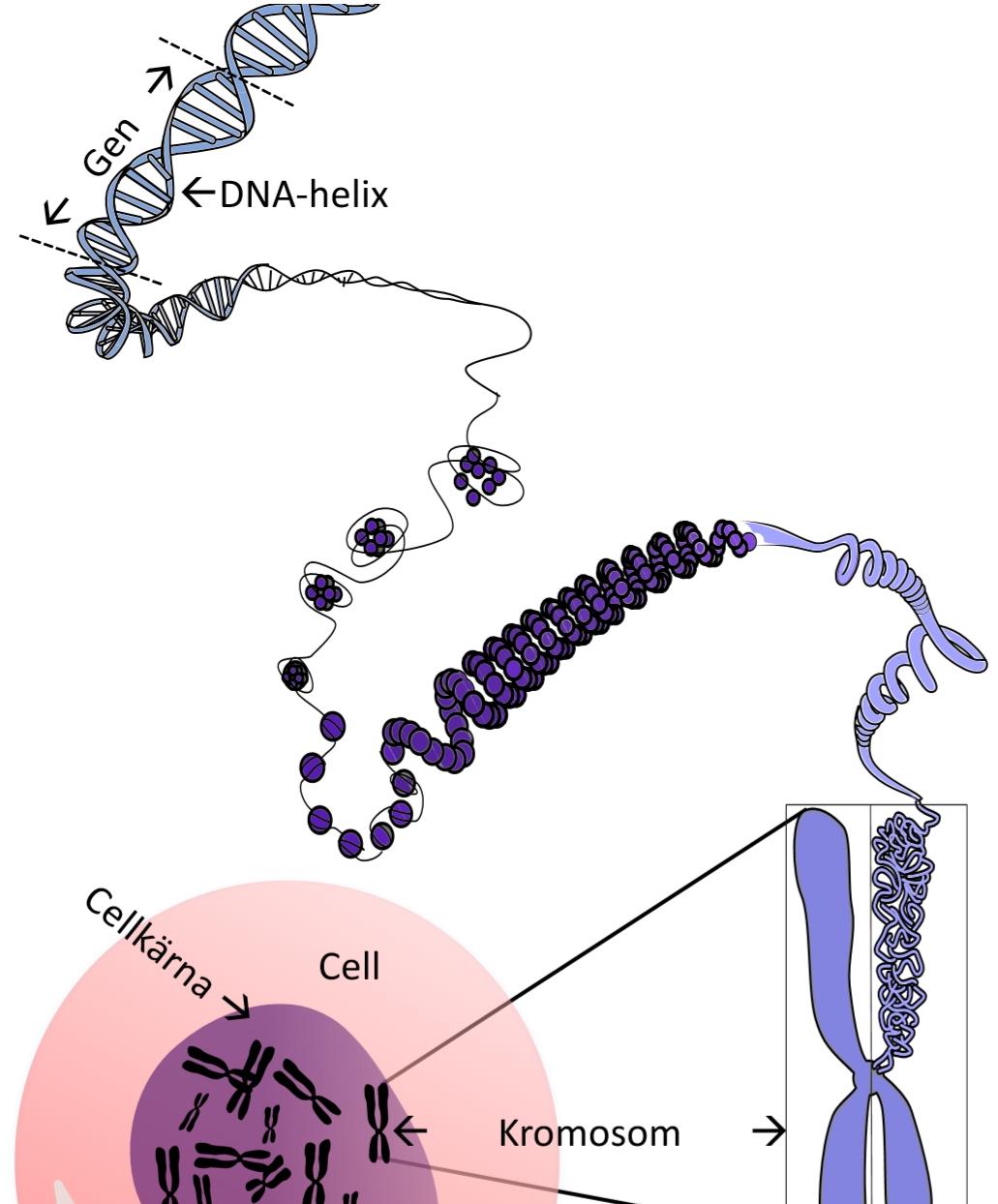 var i en cell finns gener